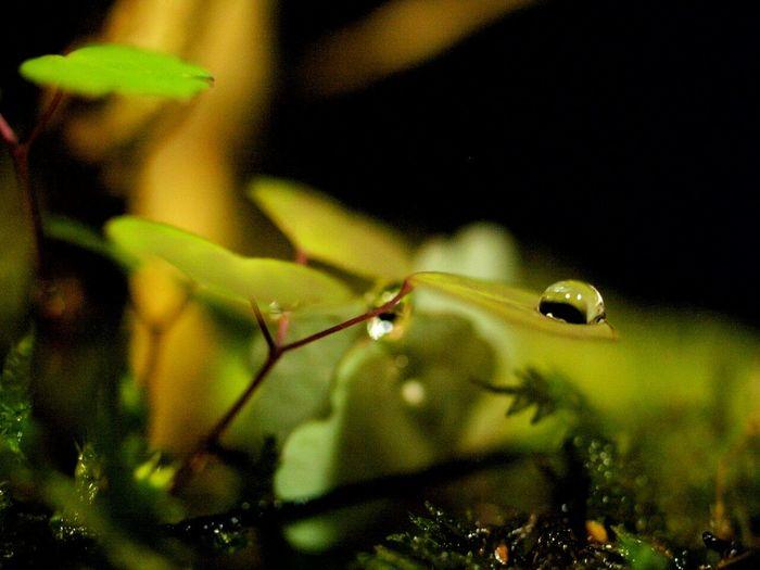 苔玉と水滴Macro Photography Macro Japan Cute Natural Photo Green Kokedama Koke Boke Waterdrops EyeEm Nature Lover Macrolove Macrophotography Macro_collection