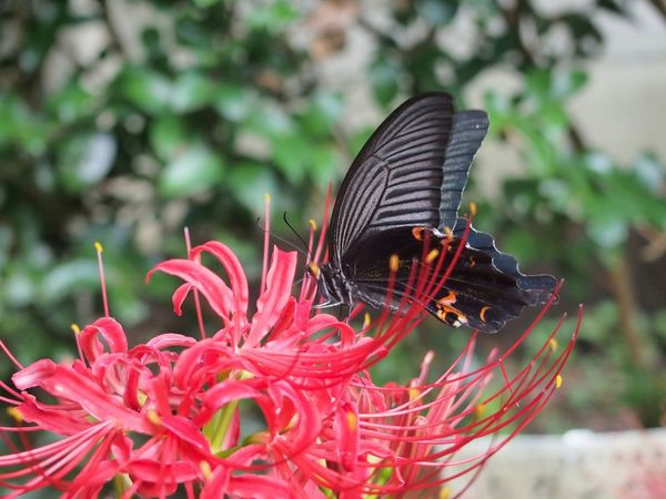 Red Cluster Amaryllis with a black butterfly. Butterfly Encounter. Flower Photography. Natures Diversities Butterfly Black Butterfly Macro Photography Nature's Diversities
