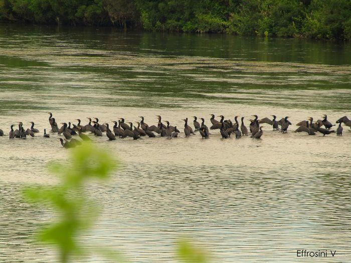 Phalacrokorax carbo. Birds Day Idyllic Kormoran Nature No People Reflections Riverbank Tranquility Trees Water