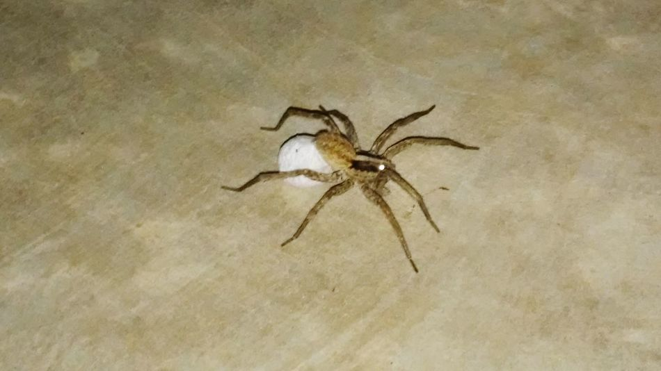 Aracgnopgobia Spider Nature Egg Bag Offspring