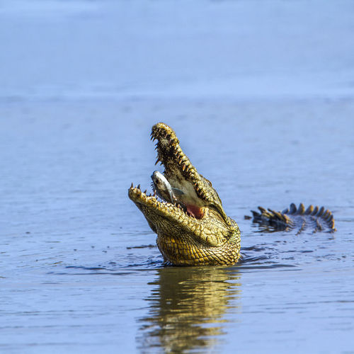 Close-up of crocodile feeding on fish in sea