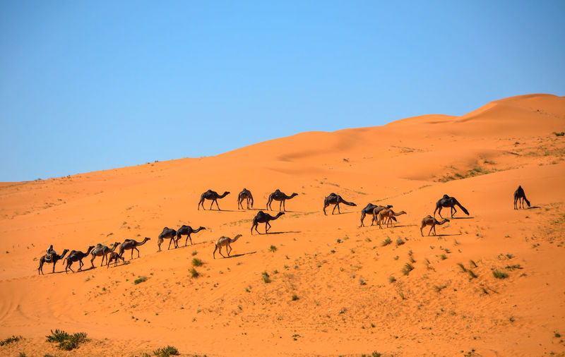 Camels Walking On Desert Against Clear Blue Sky