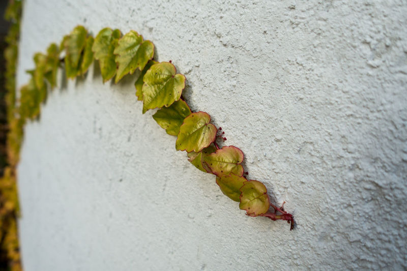 Beauty In Nature Beauty In Nature Close-up Day Efeu An Mauer Leaf Nature No People Outdoors