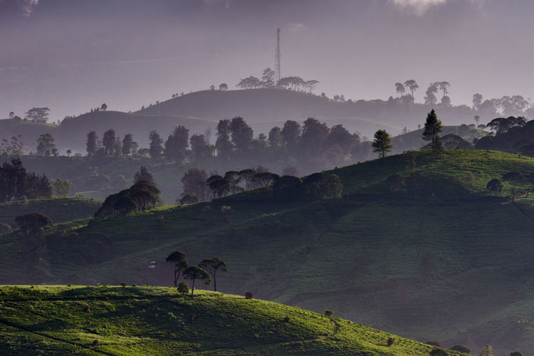 Panoramic view of tea plantation covered by mist in the morning