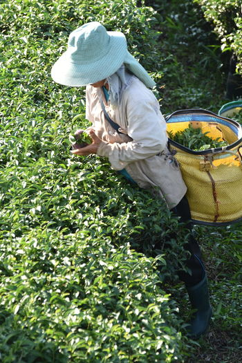 High Angle View Of Woman Working At Tea Farm