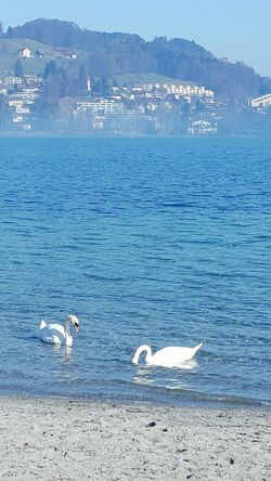 Swans Lake Lucerne Beauty In Nature Outdoors Water Blue Water Eye4photography  Eye4photography  Eyemoments Eyemgallery Outdoor Photography Outdoor Adventures Freshairandfreedom Moments Eyemphotography Eyemphotos