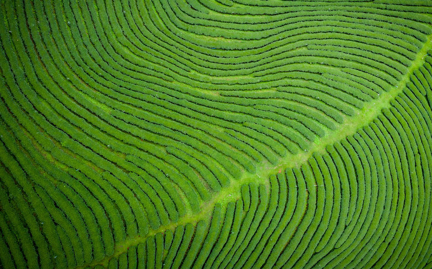 Green tea gram aerial photography