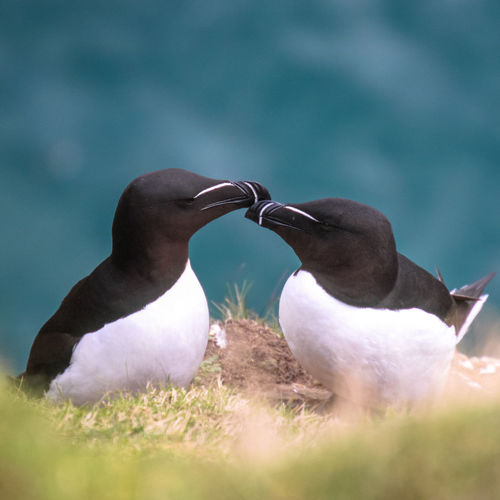 Razor kiss Beak Beauty In Nature Bird Cliffs Focus On Foreground Grass Island Kiss Love Nature Ocean Partnerforlife Razorbill Sea Selective Focus Skomer Island Tranquility Wales