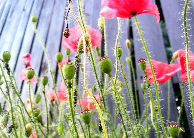 Flower Beauty In Nature Nature Plant Growth Freshness Day PoppyFragility Poppy Flowers Poppy Flower Poppyflower Summer Outdoors