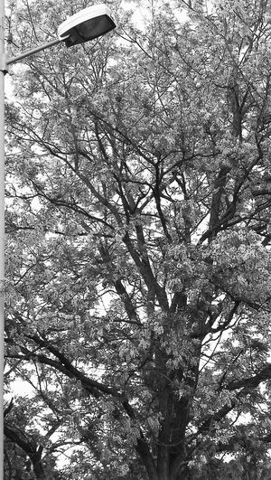 Nature Outdoors Huawei P10 No Edit/no Filter Outdoor Photography Art Is Everywhere Black And White Collection  Black&white Street Light & Tree