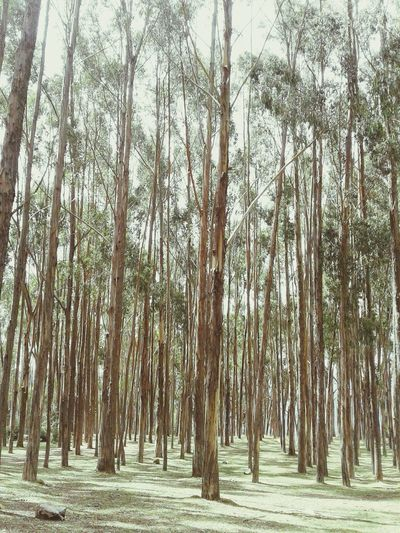 Qenqo Cusco, Peru Traveling Beautiful Nature Magic Place Tree And Sky Naturelover Eucalyptus In The Forest Trees