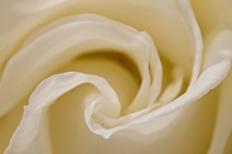 Rose White Rose🌹 Flowers Flower Maximum Closeness