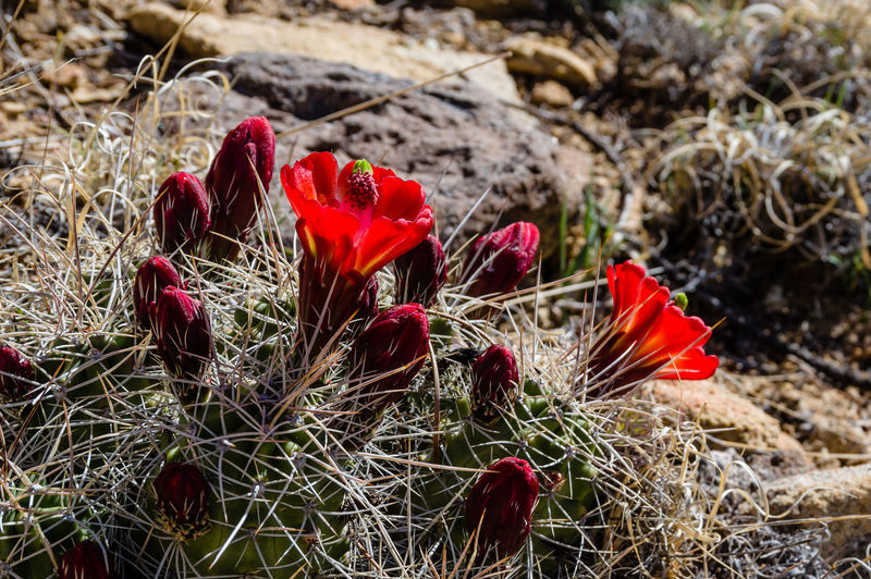 Close-up of red flowering plants on land