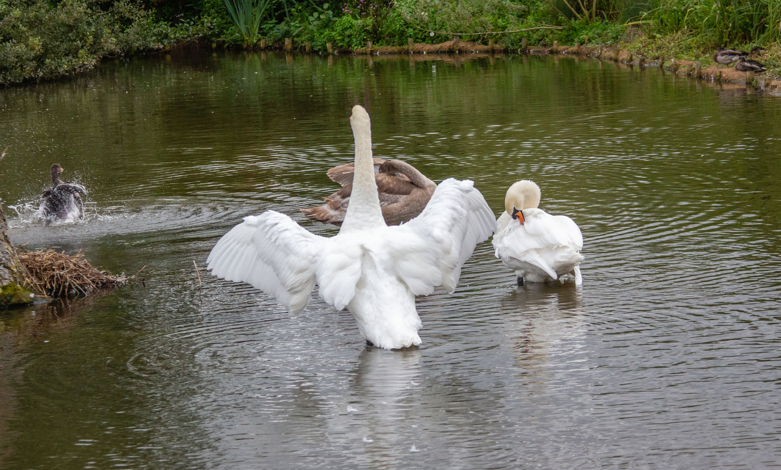 water, lake, animal, animal themes, vertebrate, bird, swan, animals in the wild, animal wildlife, waterfront, group of animals, white color, swimming, reflection, water bird, nature, no people, togetherness, day, cygnet, outdoors, animal family