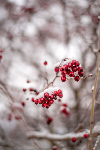 Berry Fruit Snow Winter Outdoors Plant Fruit Healthy Eating Food And Drink Food Freshness Wellbeing Red Close-up No People Focus On Foreground Selective Focus Day Tree Seed Branch Pomegranate Nature Ripe Rowanberry
