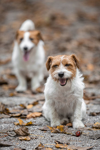 Close-up portrait of dogs running on land