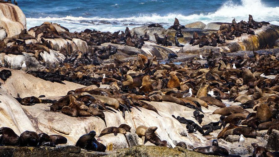 Wild seals laying around seals island in south africa