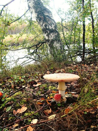 Amanita Tree Fly Agaric Mushroom Toadstool Fungus Mushroom Forest Field Grass