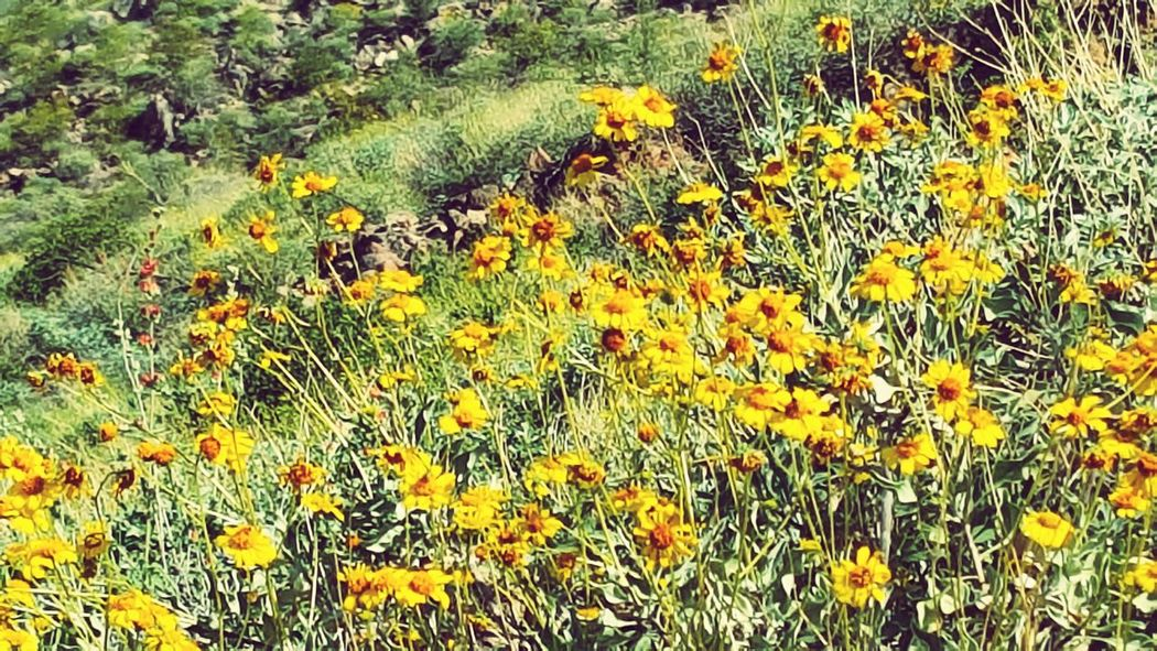 Az Wild Flowers Sonoran Desert Arizona Landscape Wild Flowers 💐