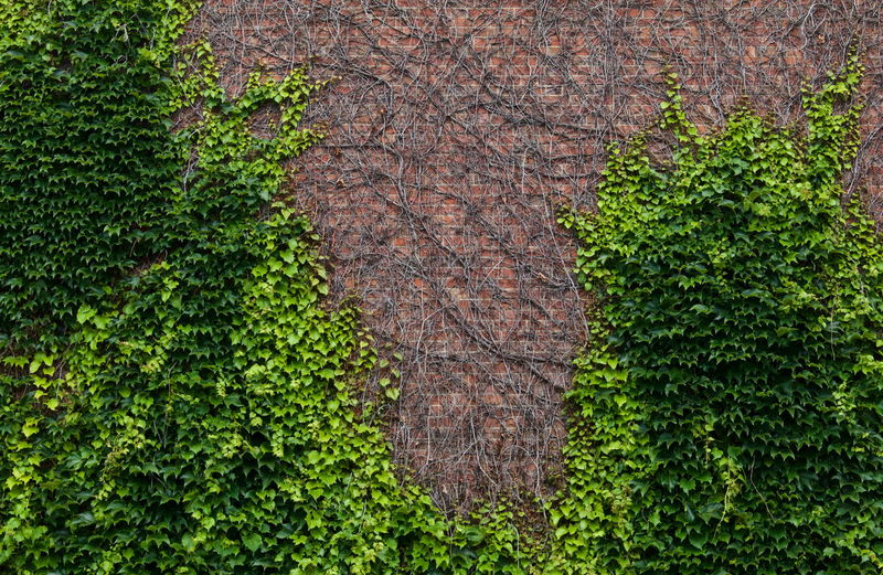 Ivy vines growing on a brick wall looks collegiate Backgrounds Beauty In Nature Botany Close-up Day Elevated View Full Frame Grass Green Green Color Growing Growth Ivy Leaf Lush Foliage Moss Nature No People Outdoors Plant Scenics Tranquil Scene Tranquility