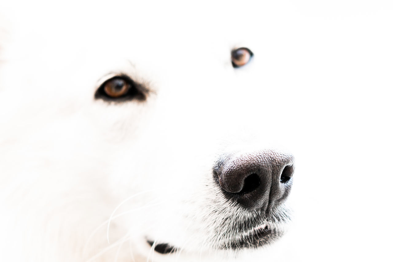 close-up, pets, animal themes, dog, animal head, one animal, domestic animals, mammal, portrait, no people, white background, day, outdoors