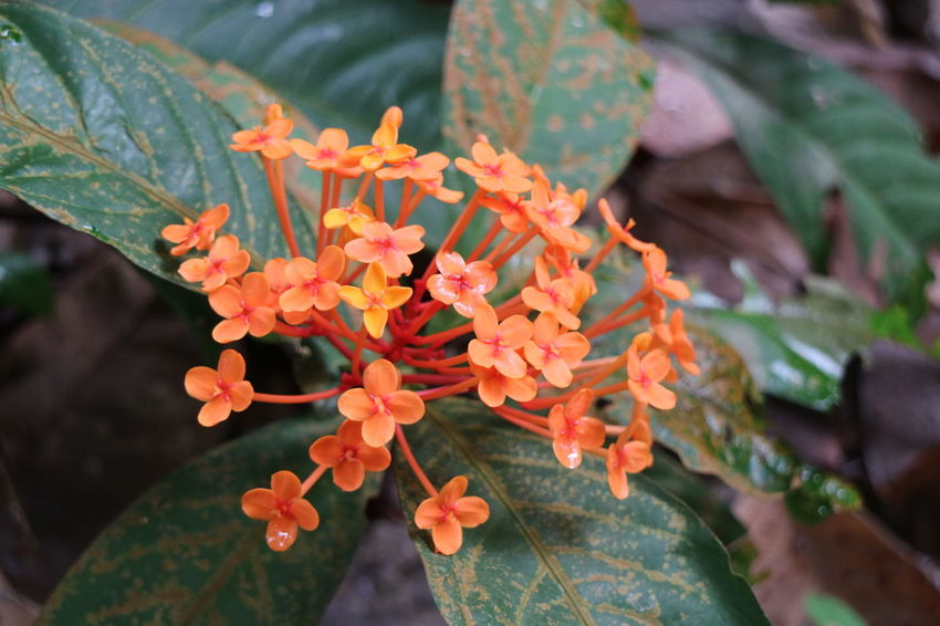Flowers,Plants & Garden Beauty In Nature Flower Flower Collection Flower Photography Flowers, Nature And Beauty Fragility Growth Ixora Nature Nparks Nparksbuzz Plant