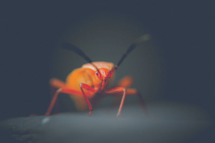 มวนแดงฝ้าย ( Cotton Stainer Bug ) Beauty In Nature Black Background Close-up Dark EyeEm Best Edits EyeEm Best Shots EyeEm Nature Lover Focus On Background Focus On Foreground Glowing Illuminated Insect Macro Photography Nature No People Orange Color Red Selective Focus Vignette