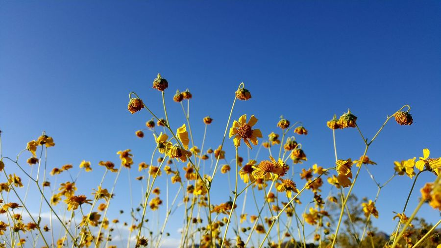 Low angle view of yellow flowering plants against clear blue sky