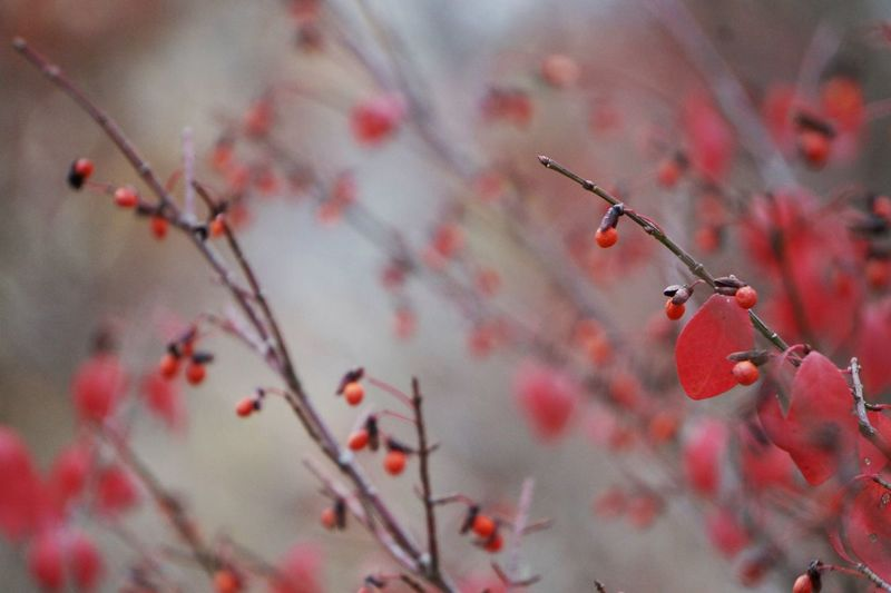Close-up of twigs with red leaves