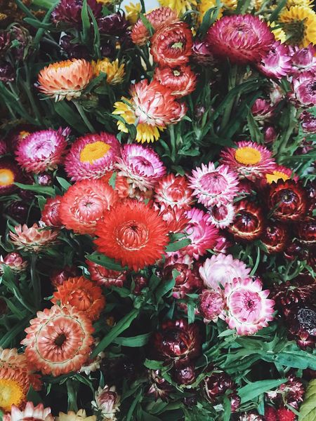 Backgrounds Beauty In Nature Blooming Close-up Colorful Day Flower Flower Head Fragility Freshness Growth Nature No People Outdoors Petal Pink Color Plant Strawflower