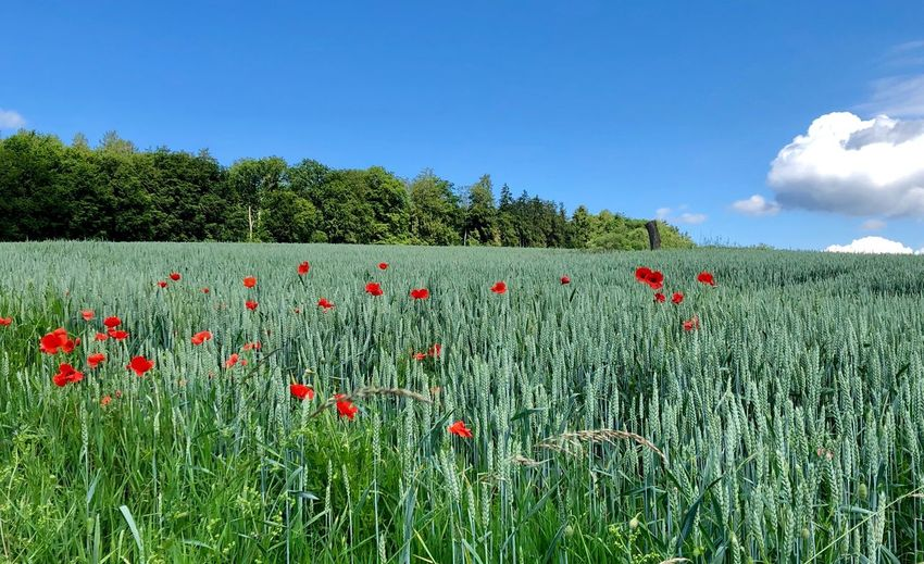 Mohn im Weizenfeld Plant Growth Sky Beauty In Nature Flower Field Flowering Plant Green Color Landscape Nature Land No People