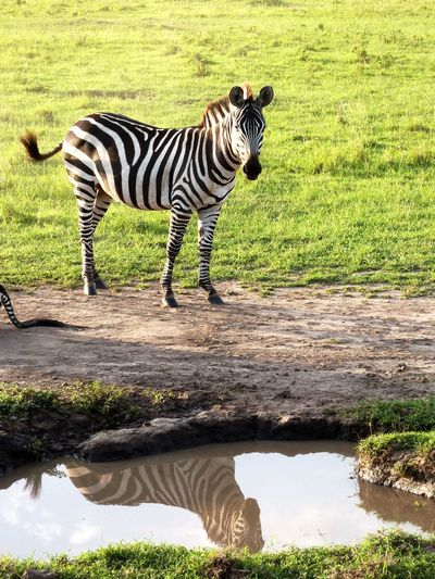 How do I look today? Spiegelung Safari Seeing Yourself In A Mirror Spieglein Spieglein An Der Wand.. Looking Glass Reflection In The Water Pirschfahrt Game Drive Kichwa Tembo Kenia Kenya Masai Mara National Park Black And White Striped One Animal Animal Themes Mammal Outdoors Animals In The Wild Animal Wildlife Zebra Grass