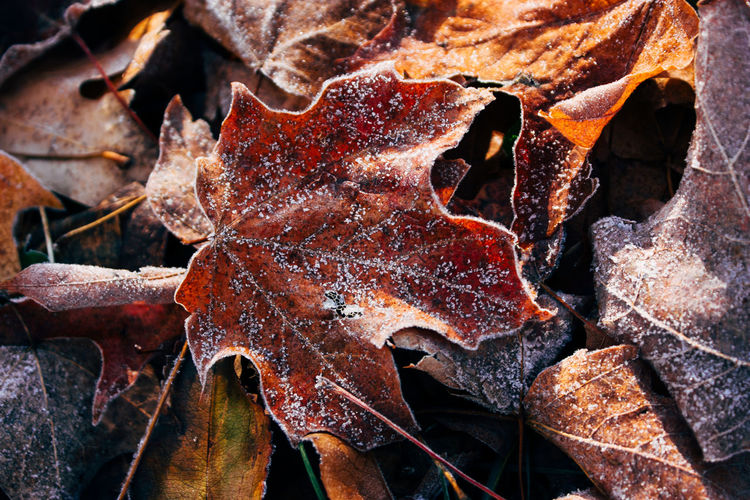 Autumn Change Close-up Day Dry Fragility Frost Leaf Maple Nature No People Outdoors Rotting