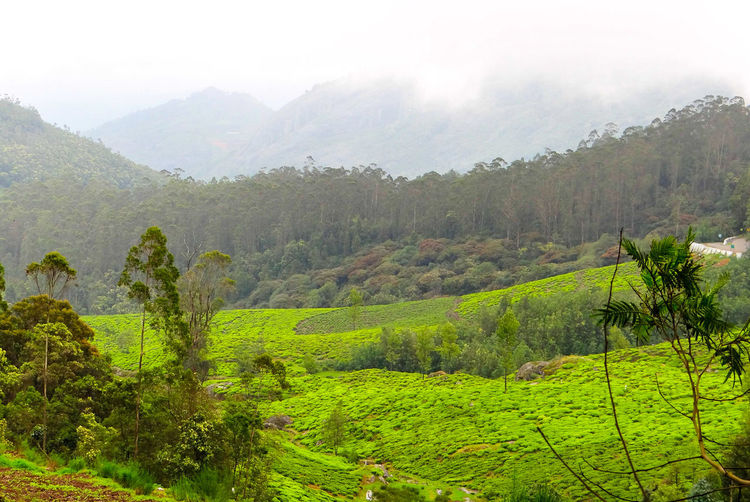 GREENERY SCENERY IN OOTY, INDIA 🇮🇳 Rich Green Tones Greenery Scenery Tea Crop Tree Rural Scene Agriculture Social Issues Field Forest Terraced Field Hill Sky Plantation Cultivated Land Crop  Cultivated Lush - Description Foggy Valley