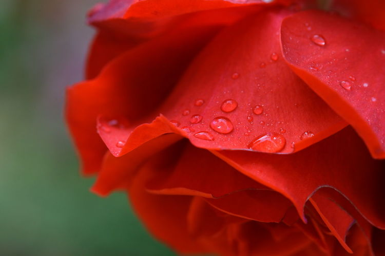 Close-up of wet red rose flower