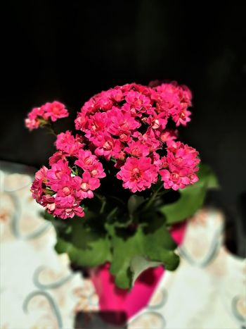 Pink Flowers Beauty In Nature Bigphotolancer Blooming Close-up Day Flower Flower Head Fragility Freshness Growth Lantana Camara Nature No People Outdoors Petal Pink Color Pink Flower Pink Flowers Pink Flowers In Bloom Plant