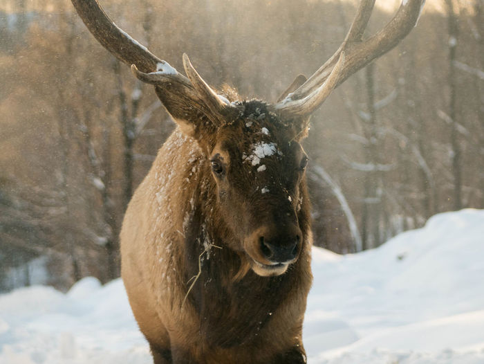 Close-up of deer on snow field