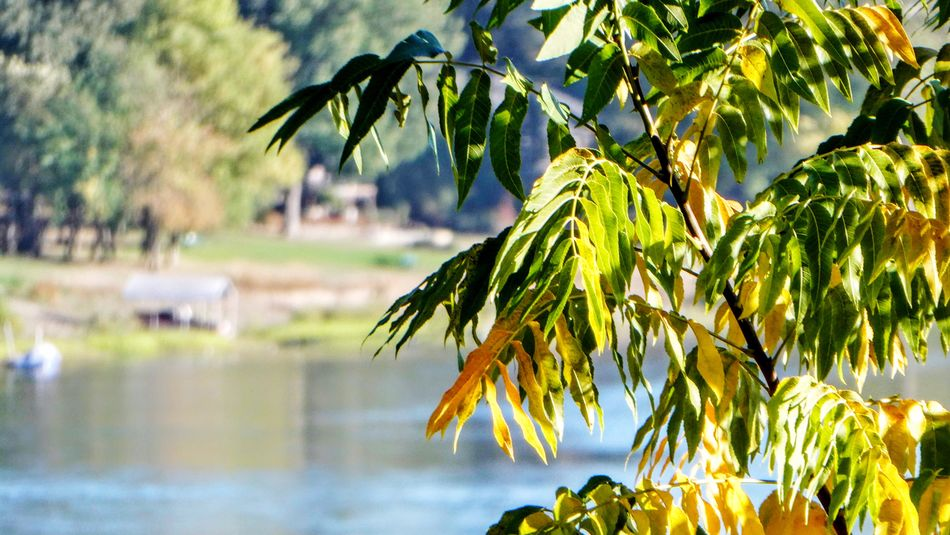 Selected For Partner River Plant Tree Leaf Growth Plant Part Nature Water Green Color Focus On Foreground Sunlight Tranquility Outdoors Branch Beauty In Nature No People Leaves Close-up Hanging Sky Day