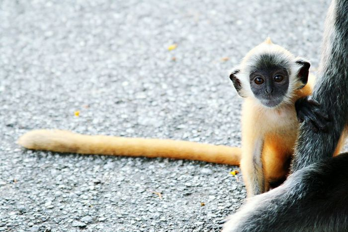 Monkey Golden Monkey Silvered-leaf Monkeys Nature Photography Wildlife Photography Wildlife 43 Golden Moments
