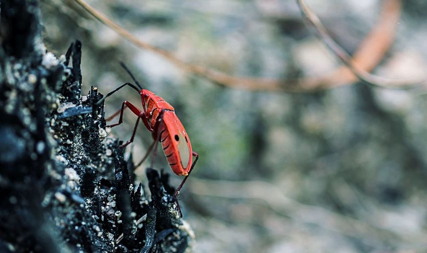 Red cotton bug on rock