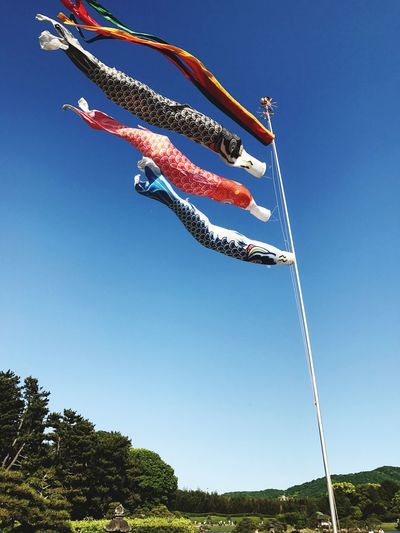 """Japanese culture """"Koinobori"""" Japanese Culture Japanese Traditional Sky Nature Clear Sky Low Angle View Plant Tree Blue"""