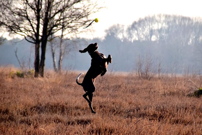 my best shot ever ✨ I Love My Dog Dog Gsp Animal Themes Jumping Mid-air Full Length Motion Shillouette Active Acrobatic Activity Catch The Ball Having Fun Field EyeEm Best Shots Eyeemphotography My Girl My Bestfriend Nikon EyeEmNewHere Pet Portraits