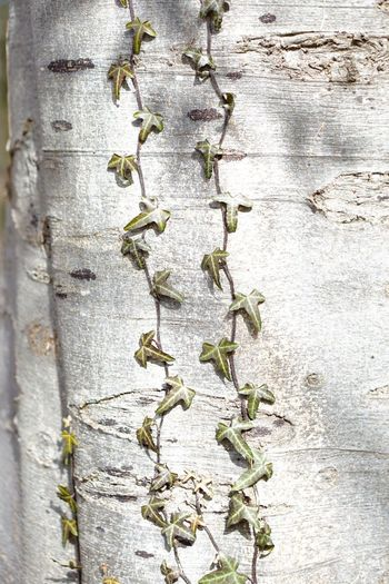Close-up of ivy on tree trunk against wall