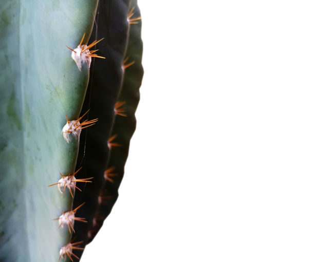 Close-up Plant No People Succulent Plant Cactus Nature Growth Day Copy Space Beauty In Nature Green Color Animal Wildlife Invertebrate Insect Outdoors Thorn Animals In The Wild Spiked Warning Sign Animal Themes Spiky Sharp Background