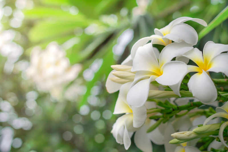 Soft frangipani flower or plumeria flower Bouquet on branch tree in morning garden background with Sunlight Flowering Plant Flower Fragility Plant Vulnerability  Freshness Beauty In Nature Petal White Color Growth Close-up Flower Head Inflorescence Nature Focus On Foreground No People Day Outdoors Frangipani Flower Plumeria Flower Fragrant Plumeria Flower Plumeria Plumeria Flowers