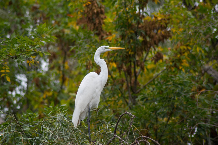 Great egret The