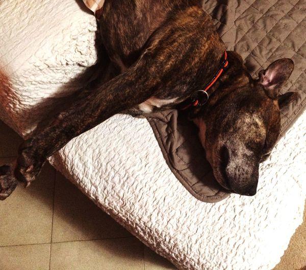 Dog❤ Mylove Sleeping Like A Horse American Pitbull Terriers Puppies Animal Photography Animal Eye Eyedog