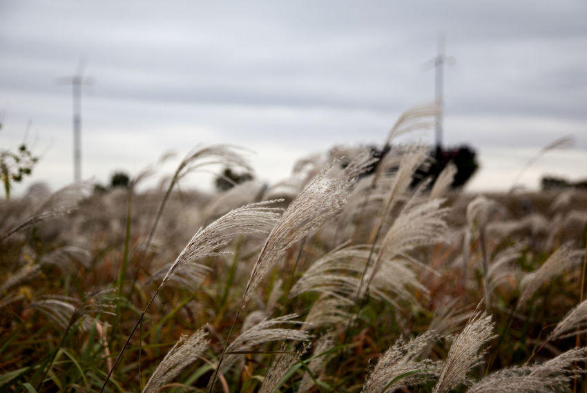 I was in Haneulgongwon which means sky park. It was cloudy in the morning and rainy in the afternoon. Autumn Close-up Cloudy Day Fall Grass Growth Nature No People Outdoors Rural Landscape Silver Grass Sky Timothy Grass Tranquility Winter