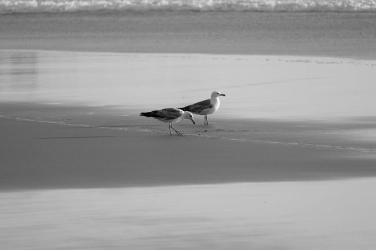 Animal Themes Animals Animals In The Wild Bird Black & White Black And White Blackandwhite Blackandwhite Photography Bnw Eye4photography  EyeEm EyeEm Best Shots EyeEm Bnw EyeEmBestPics Monochrome Nature Outdoors Seagull Seagulls Seagulls And Sea Seashore Seaside Water