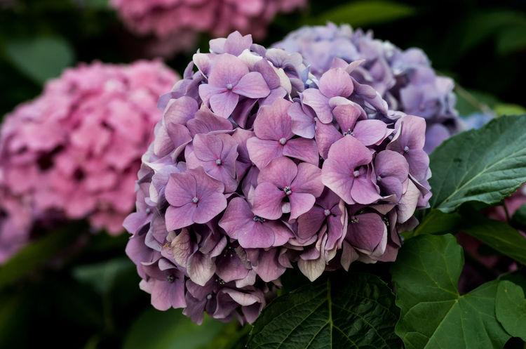 hortensia in bloom Beauty In Nature Botany Bunch Of Flowers Close-up Day Flower Flower Head Flowering Plant Focus On Foreground Fragility Freshness Growth Hydrangea Inflorescence Leaf Nature No People Outdoors Petal Pink Color Plant Plant Part Purple Springtime Vulnerability